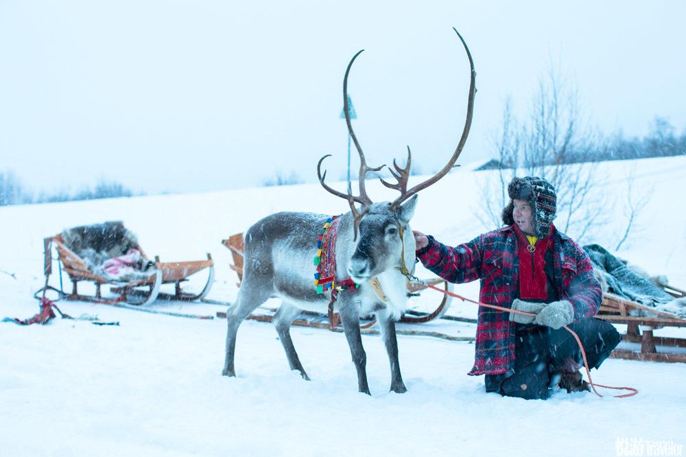 米卡的鹿没有多到数不清。事实上,大约在一千年前,萨米人就不再?#35835;?#39535;鹿,转而开始牧养它们,现在的萨米...