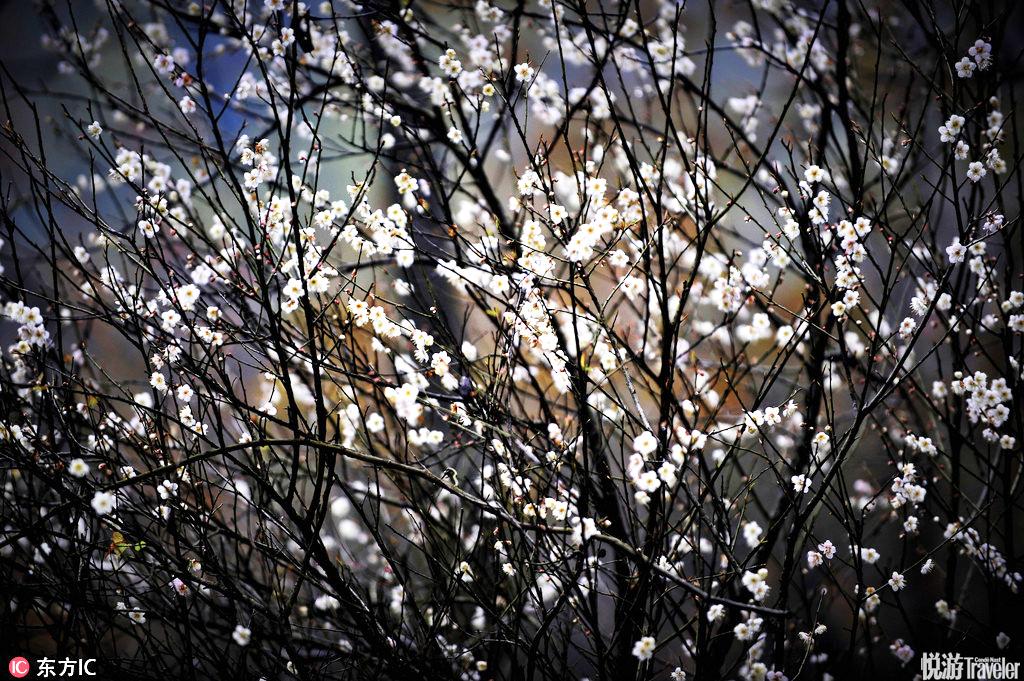 """广东韶关南雄梅岭为""""中国四大赏梅胜地""""之一,梅花已悄然绽放,韶关市又到了赏梅的时间。"""