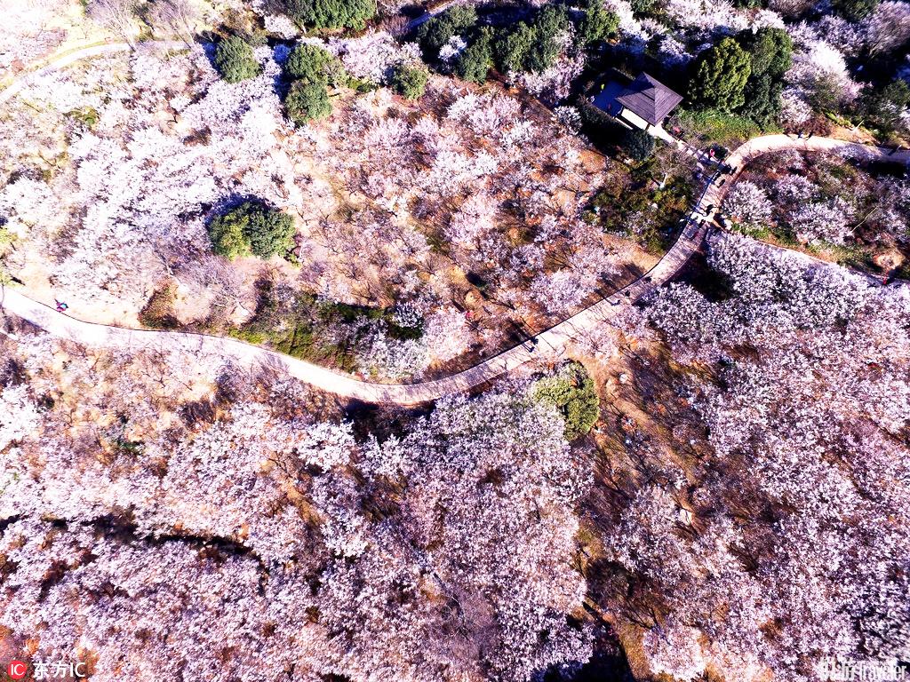 """杭州超山超山以观赏""""古、广、奇""""三绝的梅花而著名。每当初春二月,白花平铺散玉,十余里遥天映白,如飞..."""