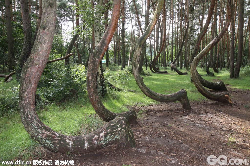 弯曲生长的松树大约