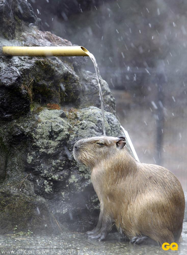 一只水豚通过享受热水澡,来抵御风雪的严寒.