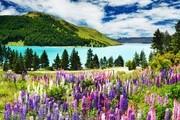 特卡波位于新西兰南岛南阿尔卑斯山东麓,是著名的旅游胜地。特卡波的夜空静谧而璀璨,抬头仰望夜空,繁星...