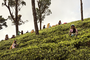 斯里蘭卡中部山區的產茶地非常廣闊,茂密的叢林邊緣整齊地種植著無邊無際的茶樹。這片地區的道路都是曲折...