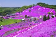 """北海道花海——炎炎夏日下的""""花地毯"""""""