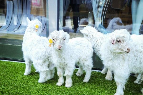 阿尔巴斯小山羊助阵1436北京嘉里中心旗舰店开幕