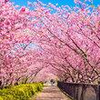 2015花见 追樱之旅