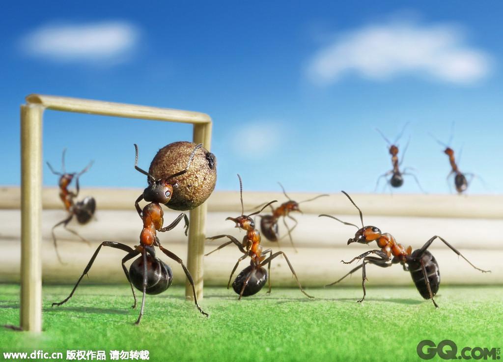 """俄罗斯摄影师安德烈·巴普洛夫借蚂蚁当""""模特"""",拍摄了一组有关欧洲足球锦标赛的照片。照片清晰度之高、""""模特""""动作之默契,令人颇为赞叹。为了借蚂蚁搬 运物品的""""本领""""模拟与足球有关的动作,安德烈用稻草搭建了一个类似球门的门框,用树叶当作绿茵场。通过微距镜头,安德烈耐心地拍摄了数个小时,才将这些 复杂精巧且难得的瞬间给记录了下来。可喜的是,照片非常成功,蚂蚁真的好似在""""踢足球""""。"""