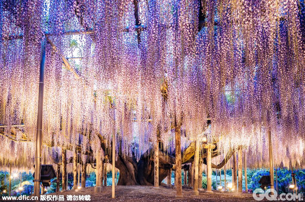 """这棵144岁的紫藤树简直就是现实版《阿凡达》电影中的""""灵魂树""""""""。它高15英尺,占地2000平方码(1672平方米),在金属支架的支撑下,犹如紫色瀑布一般,如梦如幻。伦敦设计师Peter Lourenco在日本足利公园游玩时拍到了这震撼而壮美的画面。"""
