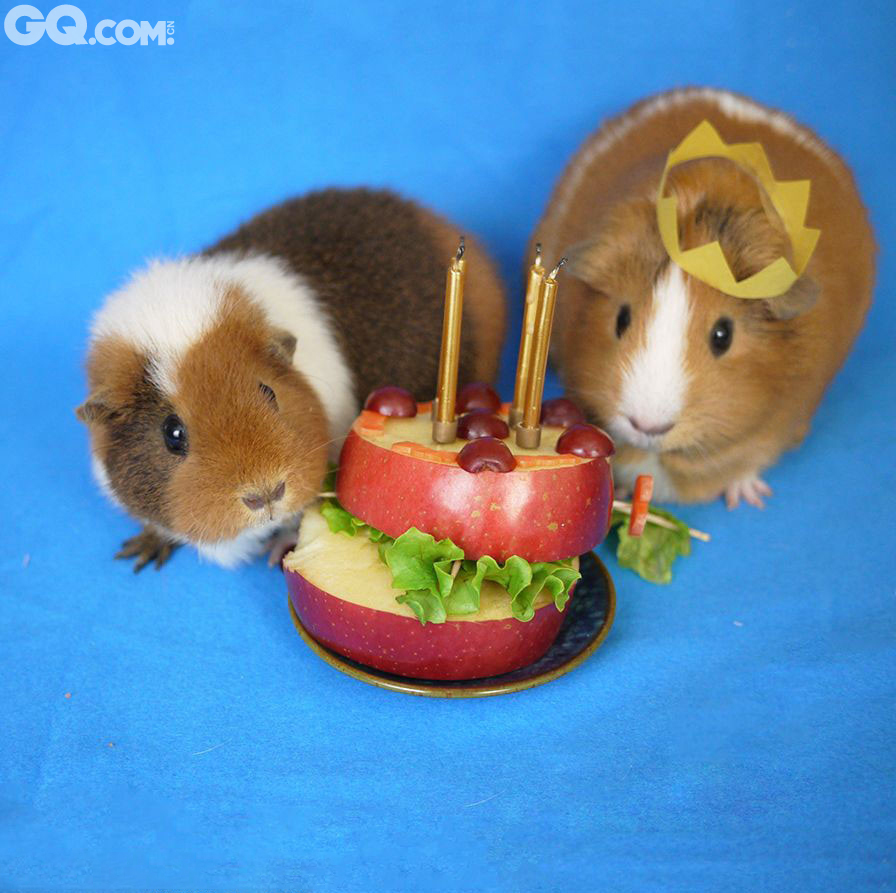 "Fuzzberta和姐姐MiniGuineaPig(简称MGP)两只可爱的小豚鼠凭借搞笑的Cosplay在网上赢得了数千名粉丝的追随。它们扮过许多角色,比如哈利波特、亚伯拉罕-林肯等。4岁的MGP和2岁半的Fuzzberta还扮过牛仔、口袋妖怪、鲨鱼、厨师,甚至是《星球大战》中的伊渥克族。它们的主人、来自美国加州的Monica Wu表示,她一开始只是用手机给Fuzzberta拍可爱的照片,后来才突发奇想让它们玩角色扮演,改用相机正儿八经的拍照。Monica说:""Fuzzberta超级有天赋,它很有镜头感,而且只要给它喂胡萝卜片,它就愿意任你摆布!"""