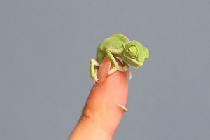超萌变色龙宝宝!身长只有五厘米
